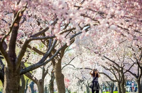 How to Take the Best Photos of Cherry Blossoms